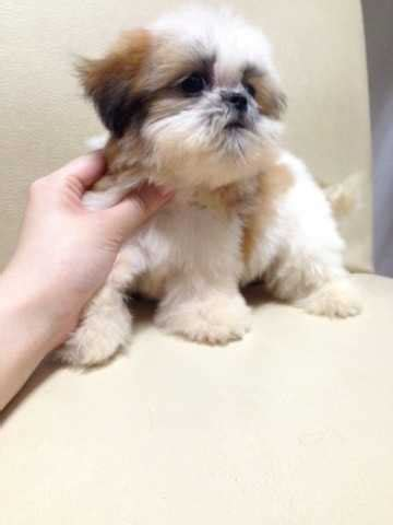 teacup shih tzu rescue teacup shih tzu tri color with mka for sale adoption from selangor klang adpost