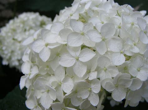 hydrangea white antique farm fresh delivered