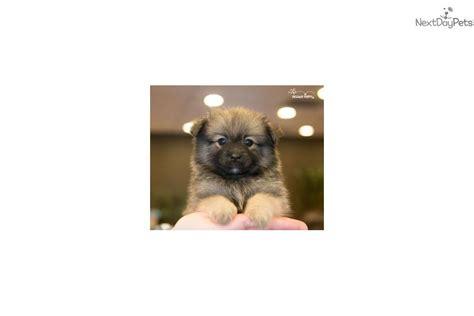 teacup pomchi puppies for sale pomchi puppy for sale near washington dc 791bad9c 6cf1