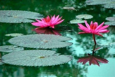 imagenes de flores acuaticas plantas acuaticas curiosidario