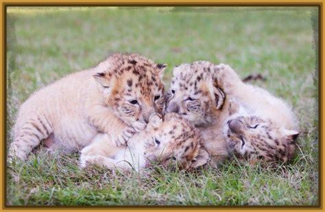 imagenes de leones vs tigres tigres y leone s salvajes bing images