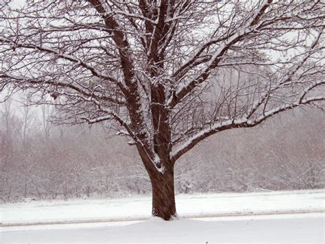 tree in snow tree in snow free stock photo domain pictures