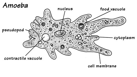 protist diagram this is a unicellular organism the amoeba which is made