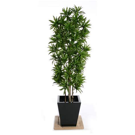 dracaena reflexa artificial dracaena reflexa plant in green leaf for the