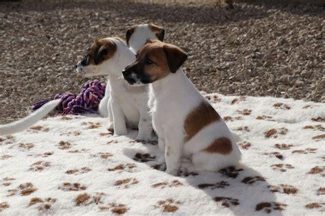 nexus porte franche chiot fox terrier poil lisse nickie femelle disponible