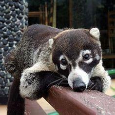 kudamundi animal what are the sizes the south american coati or ring tailed coati nasua nasua is a species of coati from