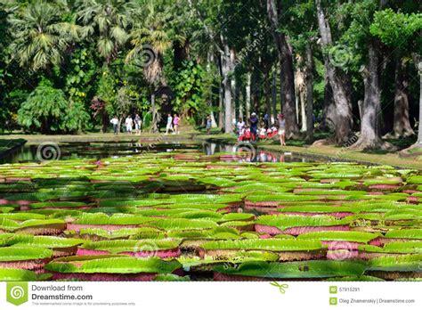 Mauritius Botanical Garden Plemousess Botanical Gardens In Mauritius Editorial Photo Image 57915291