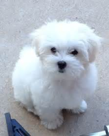 how to cut hair on a shihpoo past puppies maltipoos shih poos for the boys