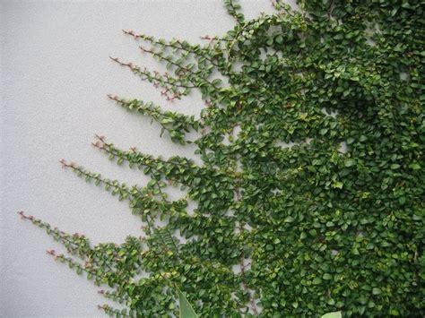 Indoor Vine Plant Best 25 Ficus Pumila Ideas On Pinterest Vines Green
