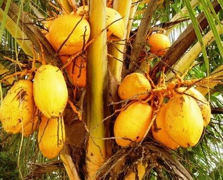 jual tanaman kelapa gading bibit