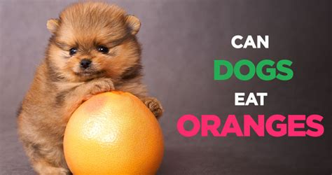 can eat oranges can dogs eat oranges a delicious and fruit for your