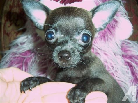 chihuahua puppies for sale in alabama tiny teacup boy chihuahua puppy quot ernie quot for sale in elberta alabama classified