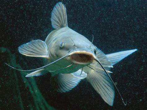Suplemen Ikan Lele ikan lele komunitas pecinta pengobatan alami