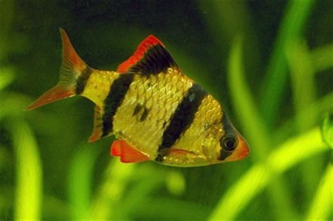 types of tropical fish for pets the pets central