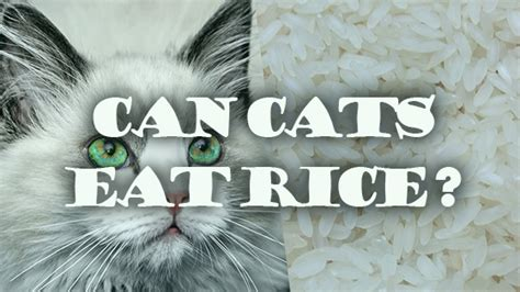 can puppies eat rice can cats eat rice pet consider