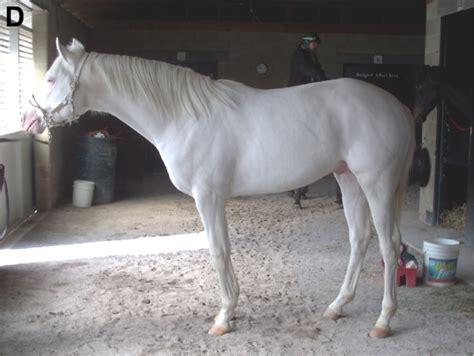 white pattern in horses frison blanc