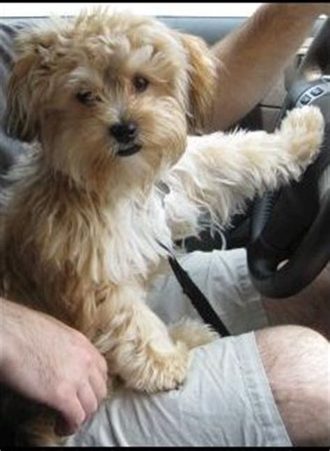 yorkie bichon mix puppies we and i want on