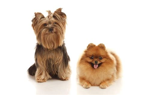 yorkies and exclusive information about the yorkie pomeranian mix