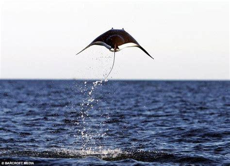 pesce volante il pesce volante nel golfo messico galleria