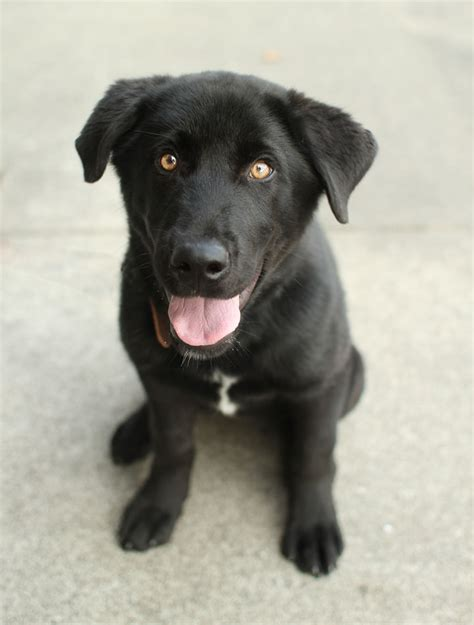 black lab corgi black lab mix corgi mixes