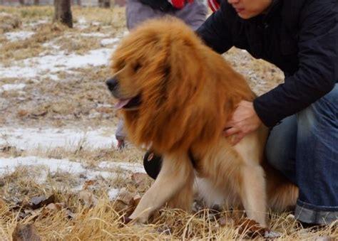mane for golden retriever pandada large pet neckerchief collar wigs mane hair labrador golden retriever