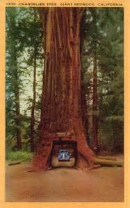 Chandelier Redwood Tree I M Curious Environment Crisis That I