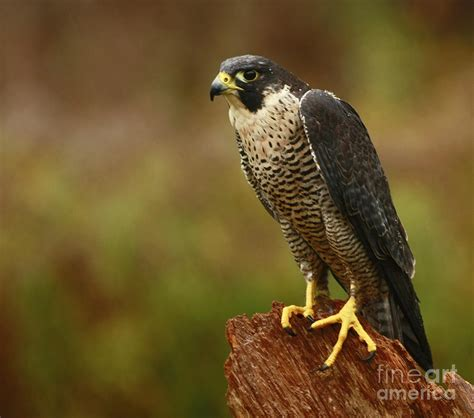 majestic peregrine falcon in the rain photograph by