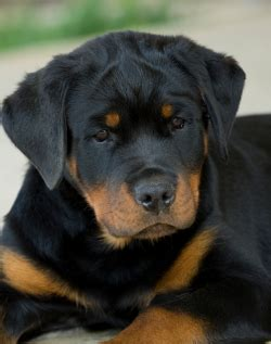 rottweiler puppy names and meanings german names ja bitte yes