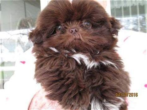 liver brown shih tzu shih tzu information center color explanation
