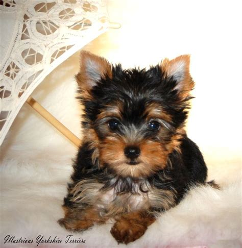 yorkie breeders in illinois 1000 ideas about small dogs for sale on morkies for sale morkie puppies