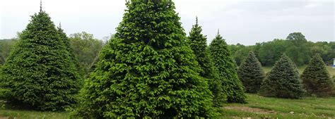 cut your own trees montgomey county maryland tree nursery maryland thenurseries