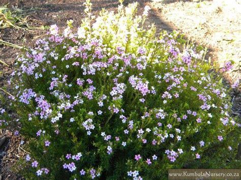 coleonema pulchrum compacta compact medium sized