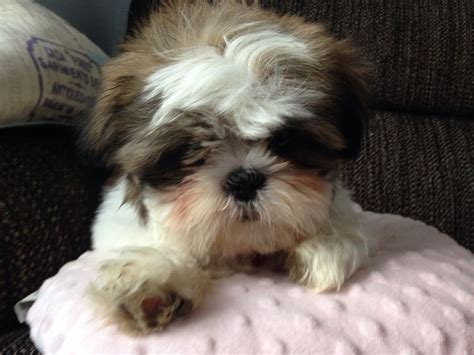 3 month shih tzu shih tzu named coco 4 months reigate surrey pets4homes