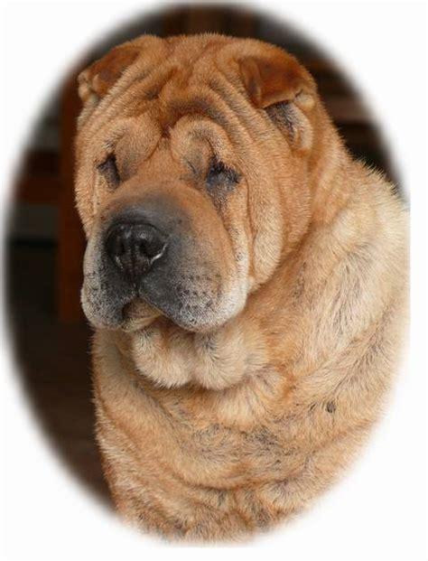 chow chow cross pug chow pei chow chow shar pei mix ocd dogs mixed breeds