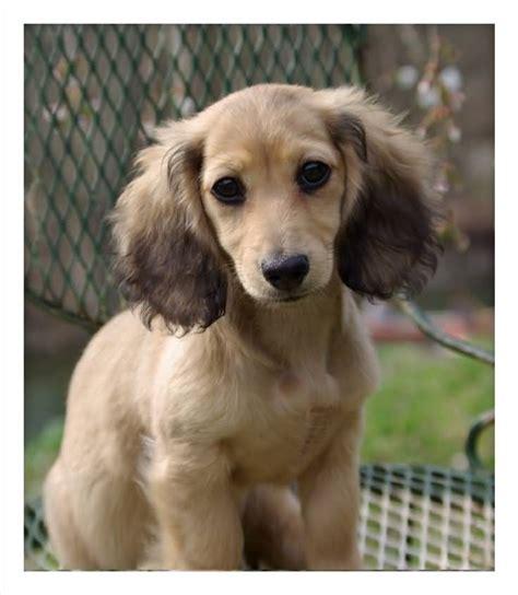 haired weenie miniature dachshunds miniature dachshund puppies breeds picture