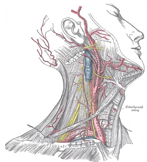 diagram of carotid artery the common carotid artery human anatomy