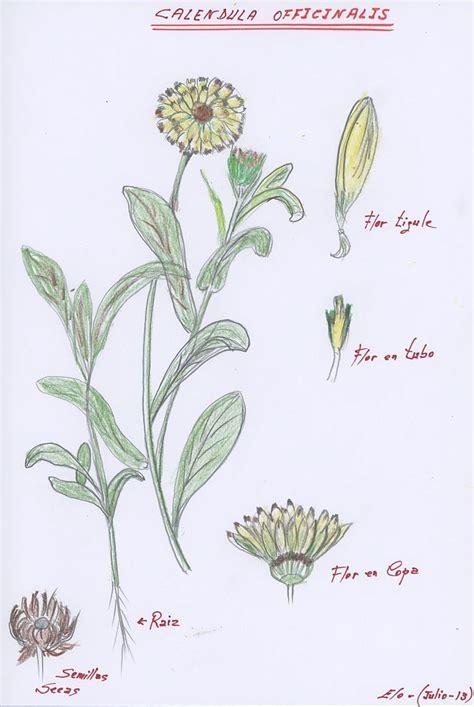 calendula herbarium