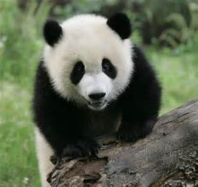 are dogs and bears related genome study finds pandas similar to dogs news in science abc science