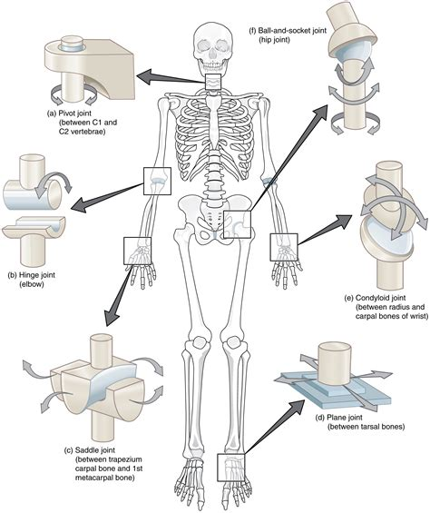 bone joint diagram human joint function diagram anatomy note