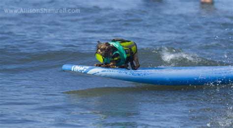 pug surfing san diego surfing at the 2013 surf surf a thon san diego pet photographer