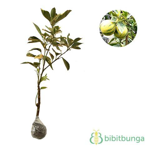 Bibit Buah Jeruk Sunkist Variegata tanaman jeruk sunkist variegata bibitbunga
