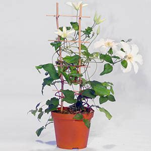passiflora in vaso passiflora dilei