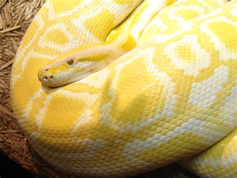 Carpet Python Bite by Snakes In The World Burmese Python Images