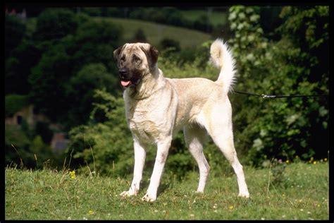 shepard dogs anatolian shepherds