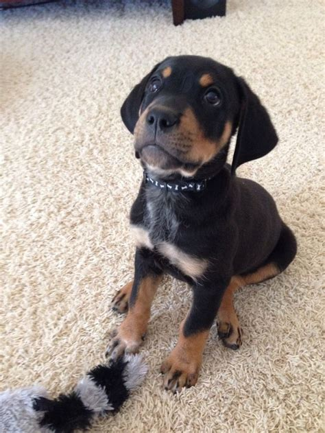 labrador rottweiler mix 26 labrador cross breeds you to see to believe