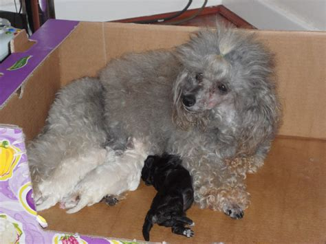mini poodle for sale poodle puppys for sale upminster essex pets4homes