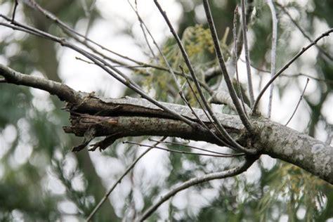 Comment Tailler Un Eucalyptus by Cicatrisation Arbre Apr 232 S La Taille Et L 233 Lagage