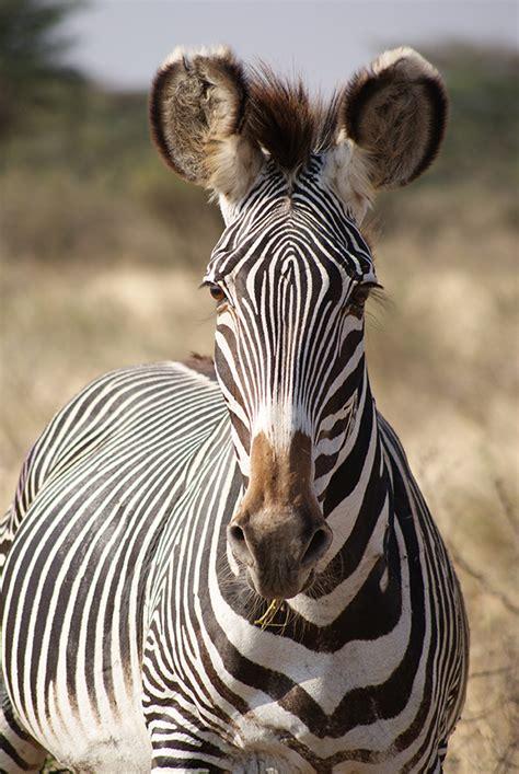 grevys zebra   fun