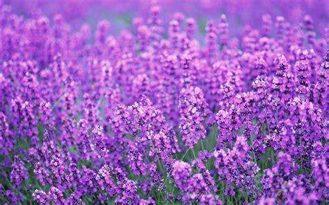 wallpaper flower lavender lavender flowers desktop background wallpaper high