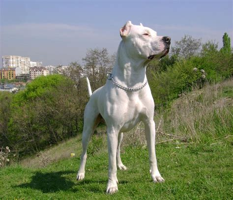 dogo breed breeds picture argentine dogo